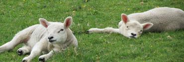 nature-farm-dog-animal-cute-rural-spring-farming-livestock-sheep-mammal-agriculture-vertebrate-lambs-white-shepherd-dog-like-mammal-wolfdog-berger-blanc-suisse-1076976